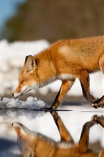Preview iPhone wallpaper Fox walking on water