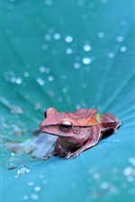 Preview iPhone wallpaper Frog on the lotus leaf, many water drops