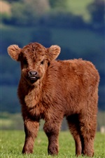 Preview iPhone wallpaper Furry cow, cub, brown