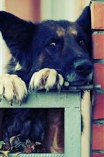 Preview iPhone wallpaper German shepherd, black dog, fence