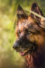 Preview iPhone wallpaper German shepherd, face, blurry