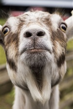 Preview iPhone wallpaper Goat head close-up