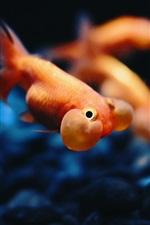 Preview iPhone wallpaper Goldfish underwater, bubble, stones