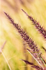Grass spikelets, blurry