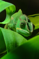 Green chameleon, reptile close-up, foliage