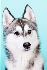 Preview iPhone wallpaper Husky dog, blue background