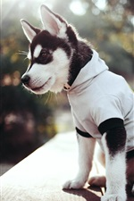 Preview iPhone wallpaper Husky dog, clothing