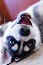 Preview iPhone wallpaper Husky dog play in room
