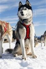 Husky собаки, снег, Аляска