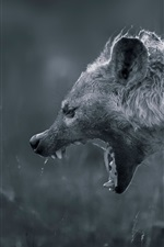 Hyena angry, white and black