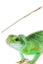 Preview iPhone wallpaper Iguana close-up, long tail, white background