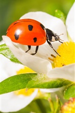 Insect, ladybug, strawberry flowers