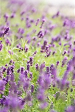 Preview iPhone wallpaper Lavender flowers, tree