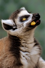 Preview iPhone wallpaper Lemur eat food, take head up