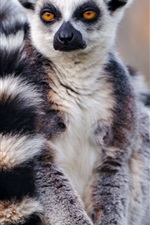 Preview iPhone wallpaper Lemur front view