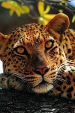 Leopard rest in tree, bokeh