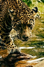 Preview iPhone wallpaper Leopard walk to across creek