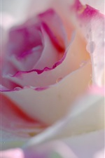 Preview iPhone wallpaper Light pink rose flower macro photography, water drops