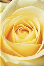 Light yellow rose close-up