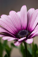Preview iPhone wallpaper Lilac color flower close-up, water drops