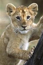 Lion cub want to climb tree