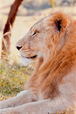 Preview iPhone wallpaper Lion lying grass