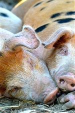 Preview iPhone wallpaper Little pigs lying to sleep