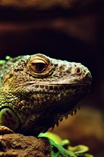 Preview iPhone wallpaper Lizard, reptile, macro photography