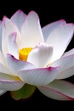 Lotus, flower close-up, white pink petals, black background