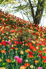 Preview iPhone wallpaper Many kinds tulips, flowers field