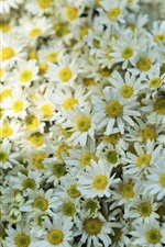Preview iPhone wallpaper Many white daisies flowers