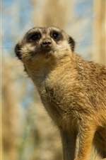 Preview iPhone wallpaper Meerkat look, grass