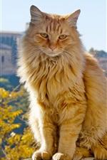 Preview iPhone wallpaper Orange cat, sit down