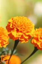 Preview iPhone wallpaper Orange marigold flowers