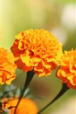 Fleurs de soucoupe d'orange