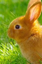 Preview iPhone wallpaper Orange rabbit, grass