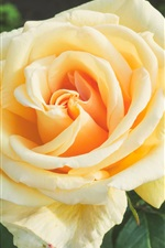 Preview iPhone wallpaper Orange rose