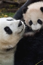 Panda and cub, playful