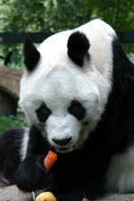 미리보기 iPhone 배경 화면 팬더는 음식을 먹기 위해 앉아있다.