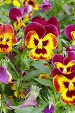 Pansies, purple yellow petals