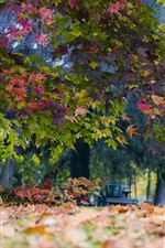 Park, maple trees, leaves, autumn