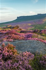 Preview iPhone wallpaper Peak District National Park, lavender flowers, UK