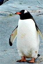 Preview iPhone wallpaper Penguin standing on stones