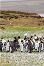 Penguins flock