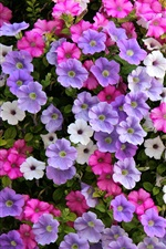 Preview iPhone wallpaper Petunia flowers, white, purple, pink