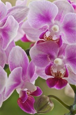 Preview iPhone wallpaper Phalaenopsis, pink flowers