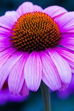 Preview iPhone wallpaper Pink echinacea flower photography, petals