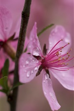 Preview iPhone wallpaper Pink flower close-up, water drops, twig