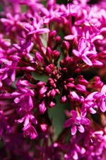 Preview iPhone wallpaper Pink flowers macro photography, black background