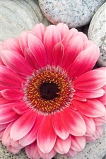 Rosa, gerbera, flor, pedras